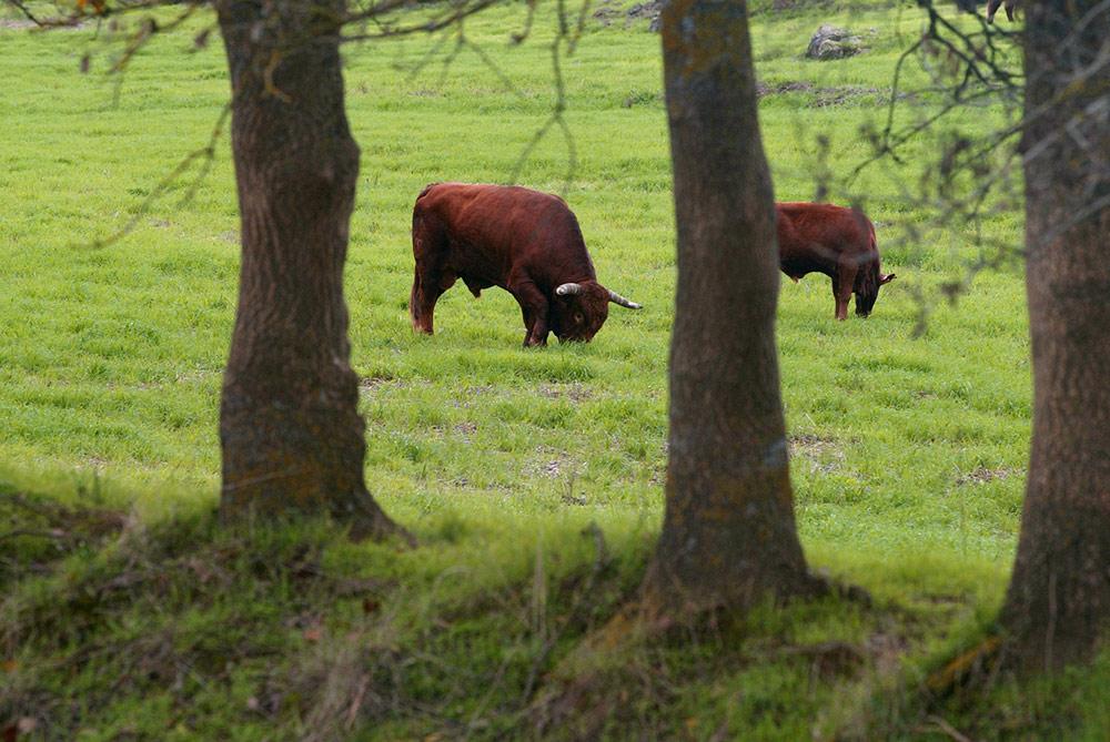 Carnalentejana - Bem-estar animal: Bovinos em total liberdade - O nosso compromisso com o consumidor